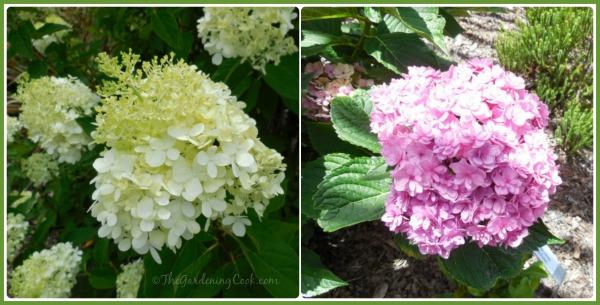Two varieties of Hydrangeas