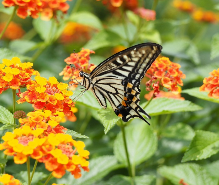 Lantana and swallowtail butterfly