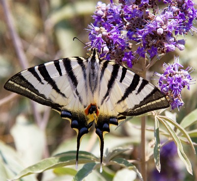Swallow tail and vitex flower