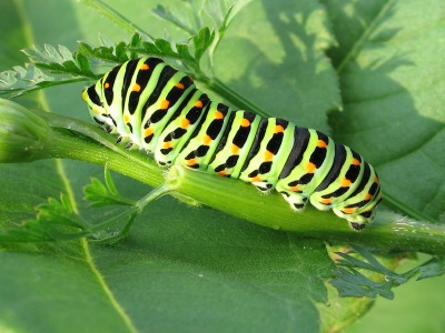 Caterpillar of a swallowtail