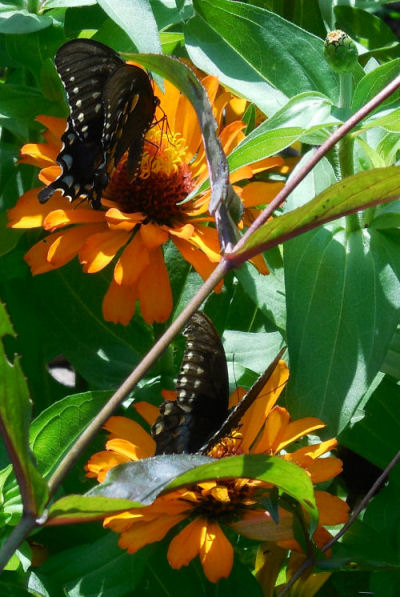 Two Dark Morph Tiger Swallowtaisl and orange zinnias