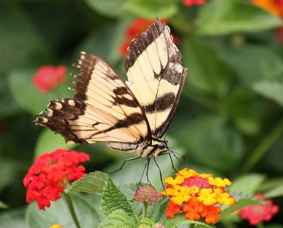 Tiger Swallowtail and lantana flowers