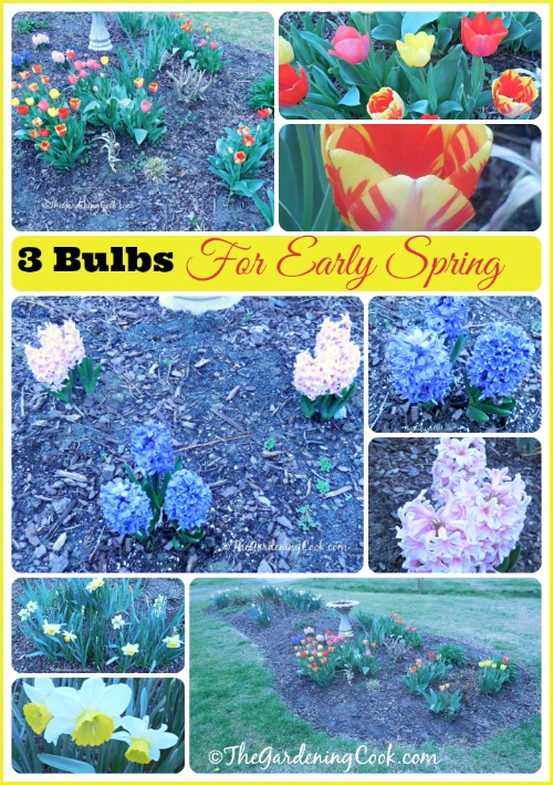 3 Easy bulbs for a great display in early spring. See them at thegardeningcook.com/3-easy-bulbs-to-grow-for-early-spring