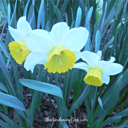 Two colored Daffodil is so cheery