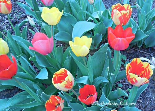 Display of vibrant tulips in my front garden