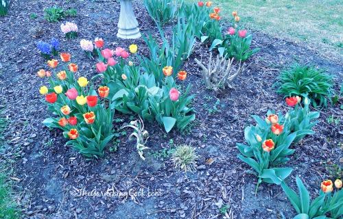 Tulips in my garden bed
