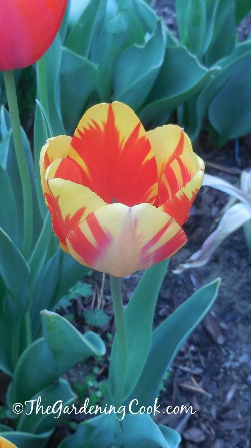 Variegated tulip in my garden in April