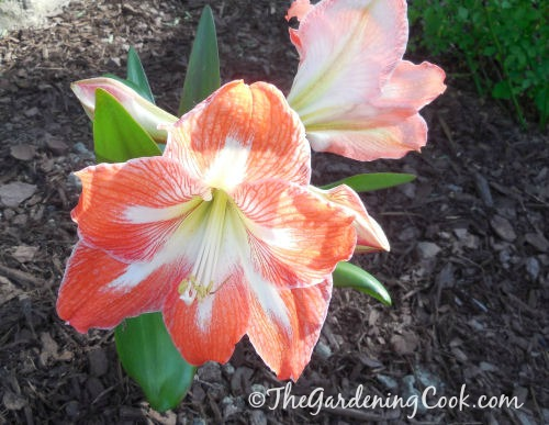 This Amaryllis is growing in my zone 7b garden!