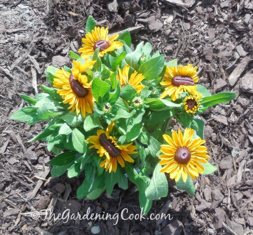 Black eyed Susan is easy to grow and has an abundance of flowers from spring to fall