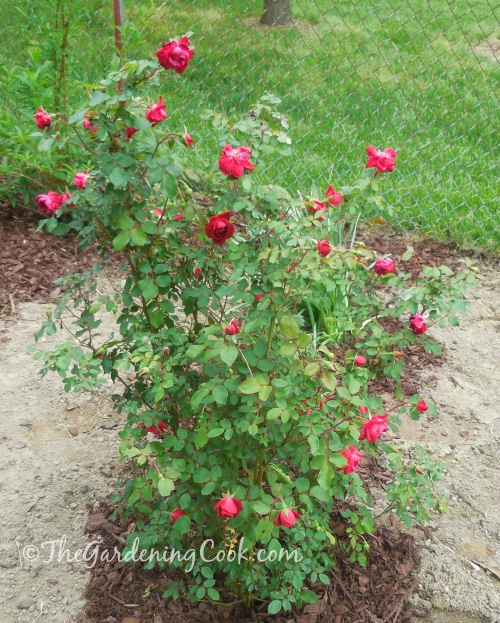 My double knock out rose will bloom from spring to fall
