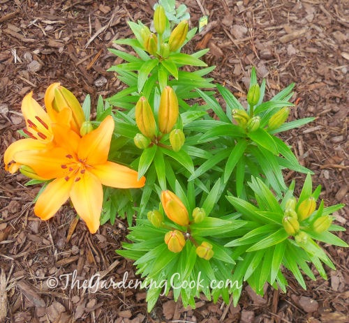 Yellow Oriental lily ready to bloom