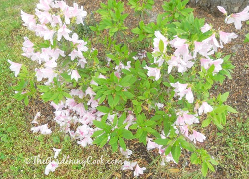This pink azalea blooms in very early spring.