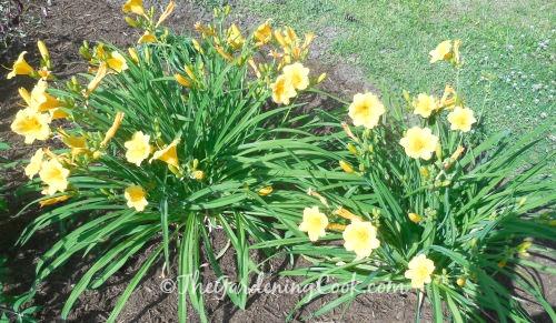 Yellow daylilies naturalize well