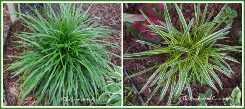 Plainj green and variegated Liriope