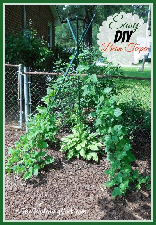 This DIY bean teepee is easy to make and my beans love to climb it. It also makes a great garden accent. Find out how to do it at the gardeningcook.com/DIY-bean-teepee