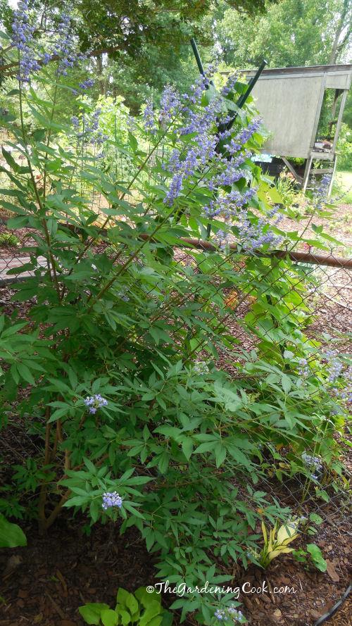 Mauve butterfly bush
