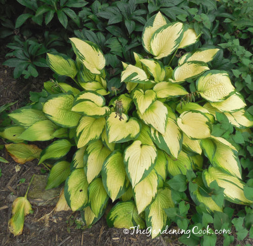 Hosta Wylde Green Cream