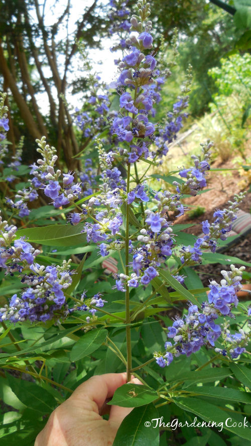 Pale blue butterfly bush has the biggest blooms