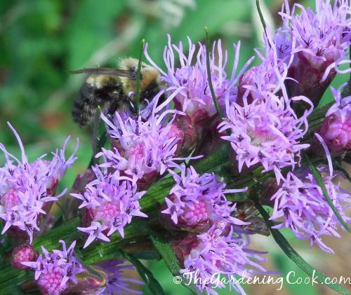 Honey bee feasting on my liatris flowers