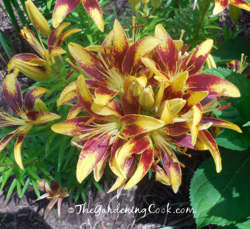 Orange and yellow asiatic lilies