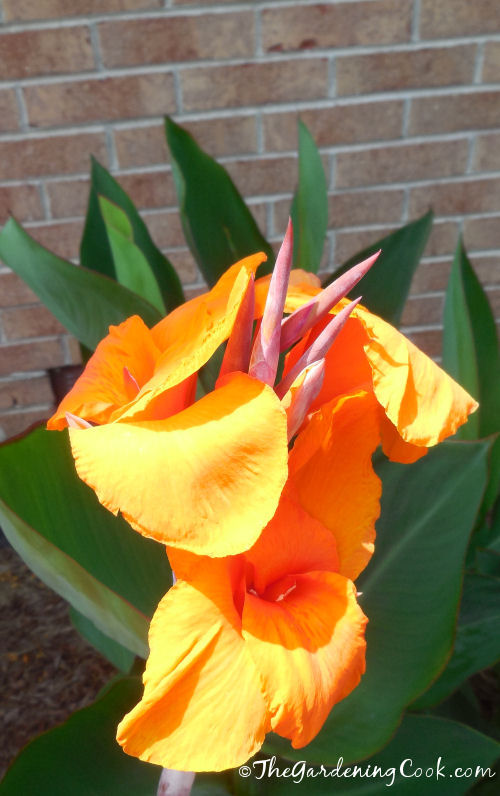 Cana lily with huge flowers.