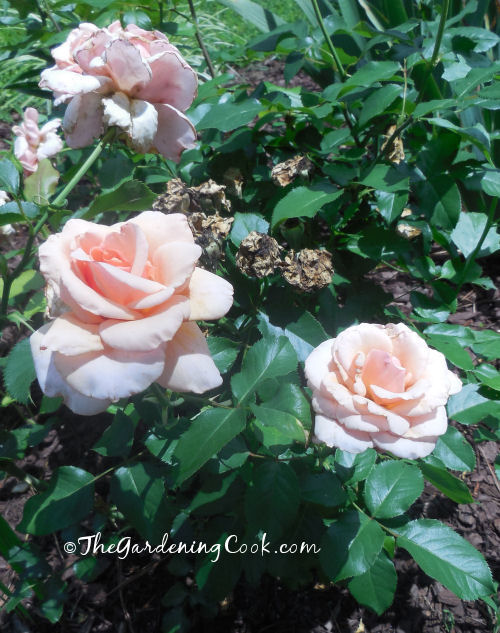 These peach knock out roses flower all spring and summer.