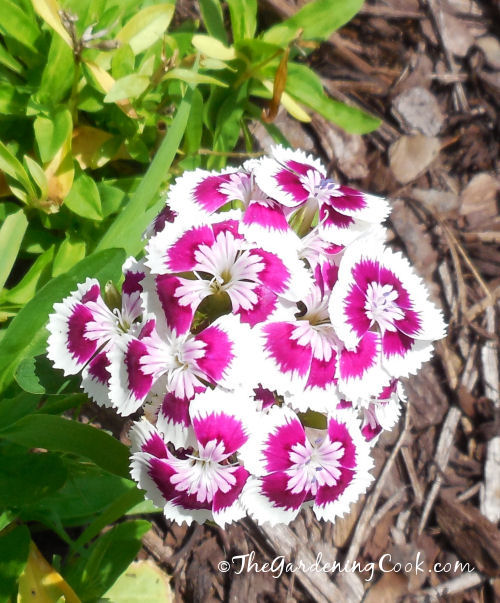 Pink and White Dianthus Barbadus