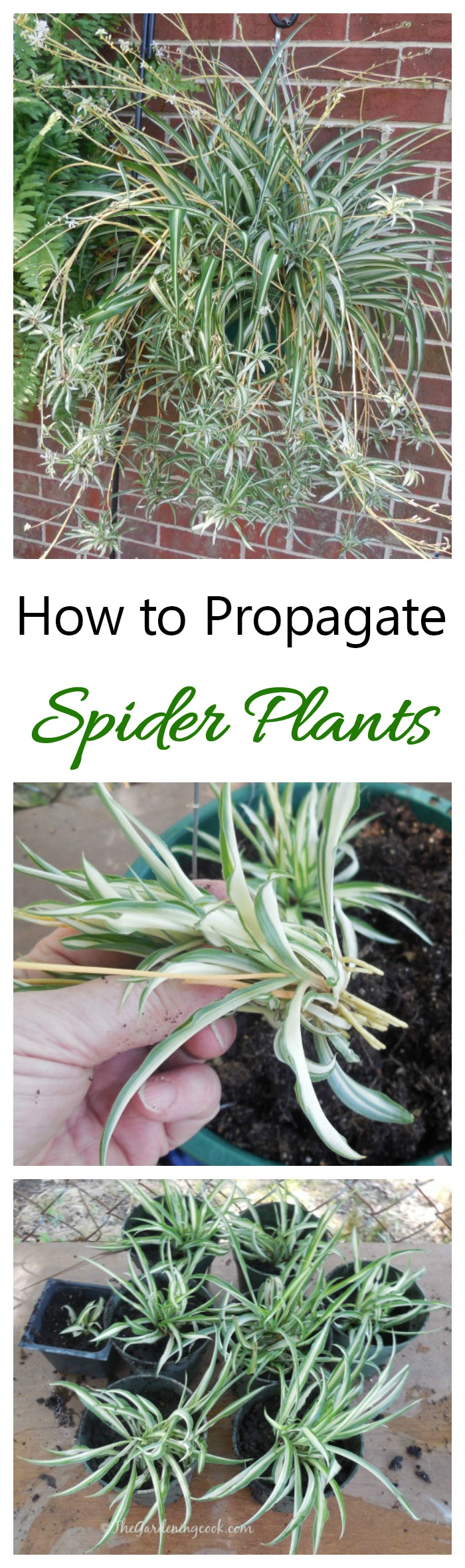 To get plants for free, learn how to propagate spider plants from their babies. It's easy to do and fun as well.
