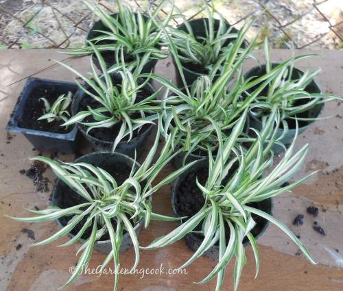 Spider plant babies make new plants