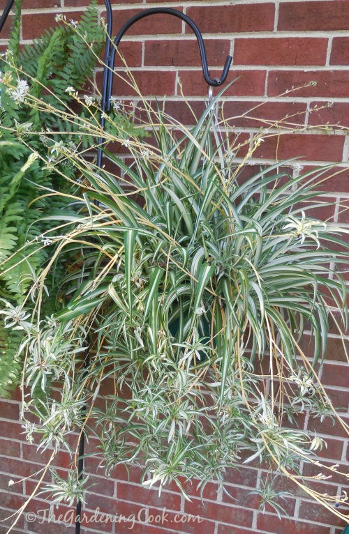 A mature spider plant often has babies with their own babies hanging below it. Find out how to plant the babies at thegardeningcook.com/how-to-propagate-spider-plants