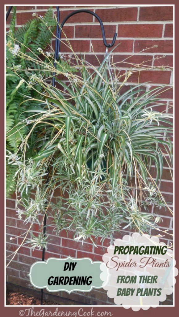 New plants for Free! Spider plants are one of the easiest plants to grow new plants from their baby offsets. Find out how to do it at http://thegardeningcook.com/how-to-propagate-spider-plants