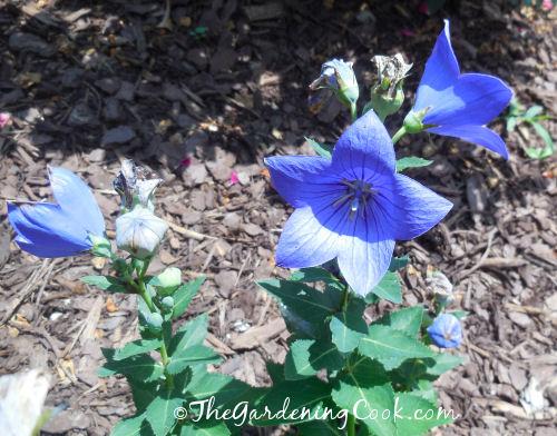Purple balloon flower
