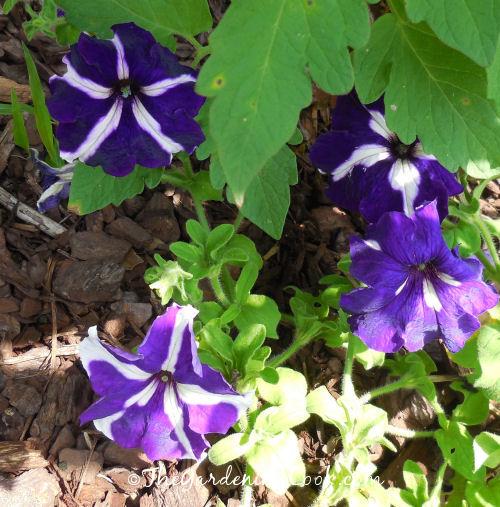 Purple Star Petunias