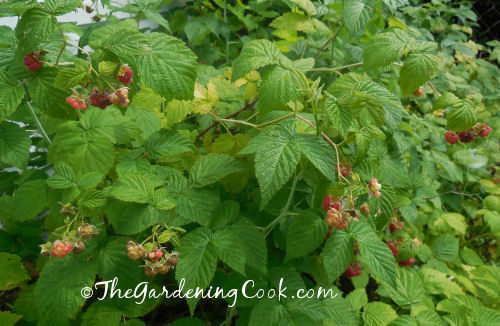 It is raspberry time!