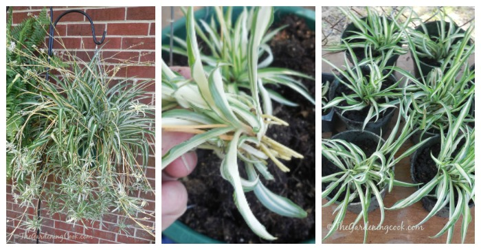 Propagate Spider Plants From Their Babies The Gardening Cook