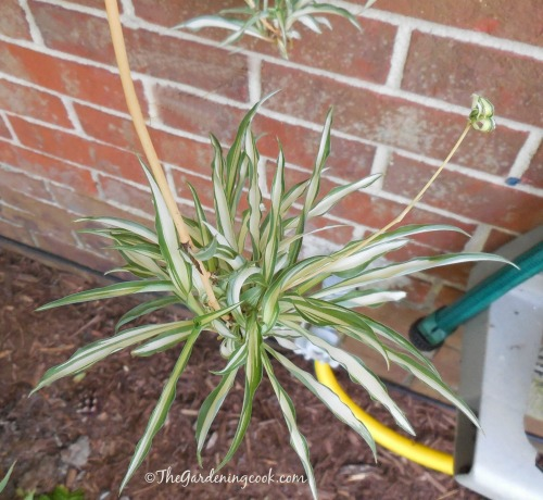 Spider plant baby with their own baby