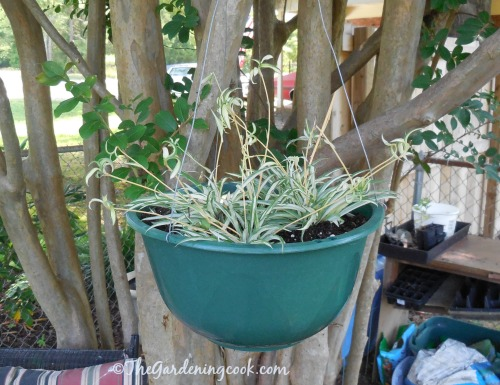 Spider plant in a tree planter