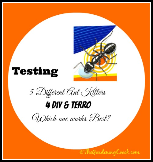 Testing 4 Homemade ant killers against Terro. Which one works best? Find out at http://thegardeningcook.com/testing-borax-ant-killer-remedies/