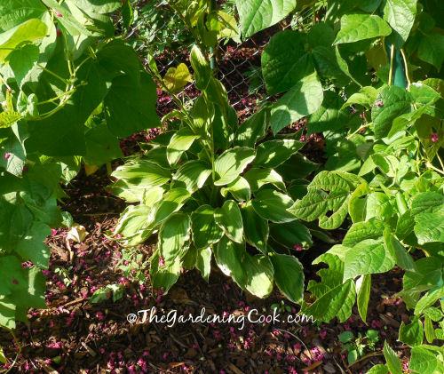 Hostas love the shade of this bean teepee