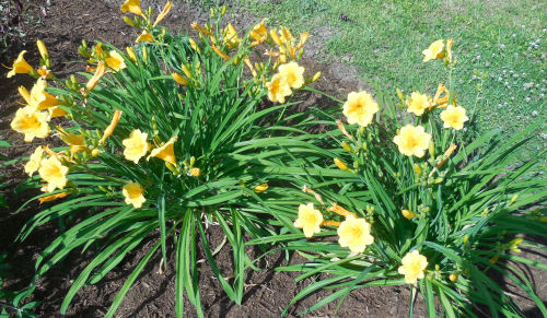 Clump of Stella D'oro Day lilies