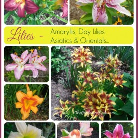 My lilies flower from early spring right into August. See a virtual tour with blooming dates for my garden: thegardeningcook.com