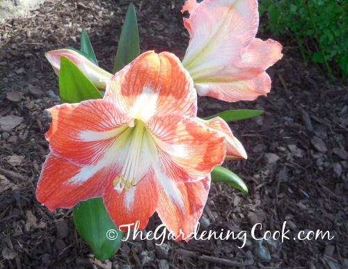 Amaryllis in a zone 7b garden after a hard winter