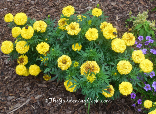 A tribute to my grandfather - he loved marigolds