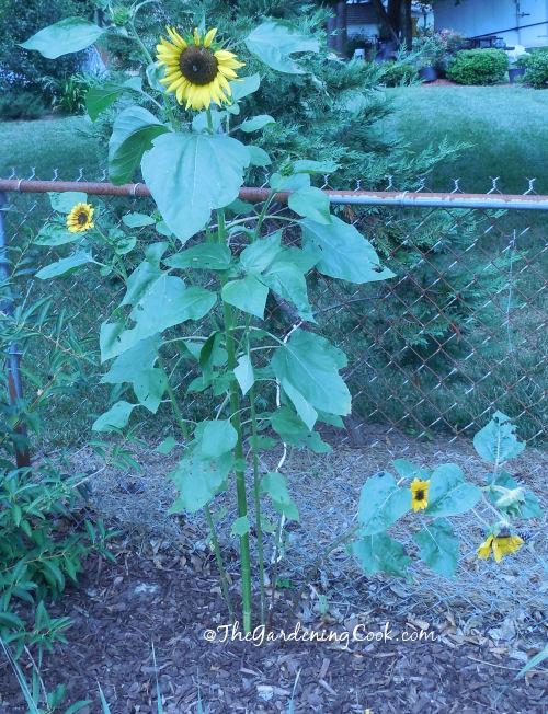 Jess Sunflowers