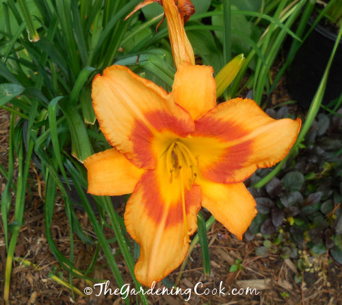 Peach day lily with a red throat