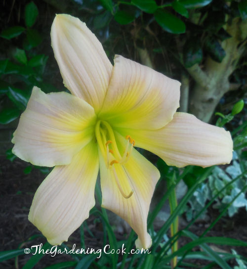 Delicate white and yellow daylily