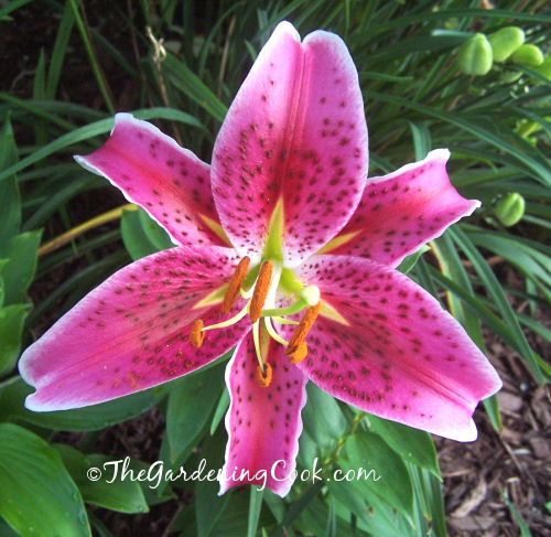 Pink spotted day lily