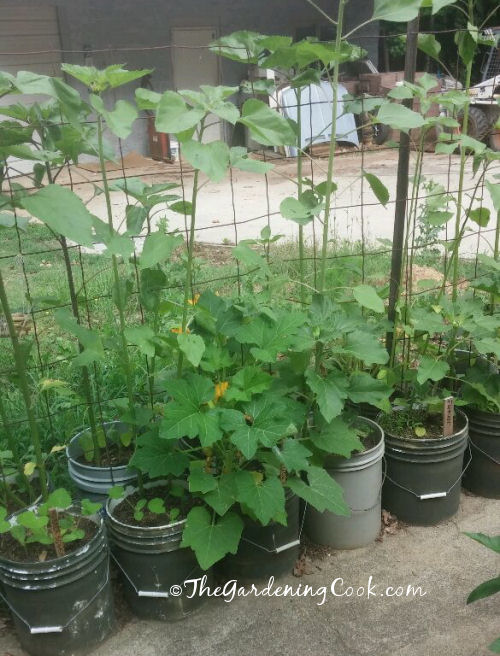 Sun flowers in planters