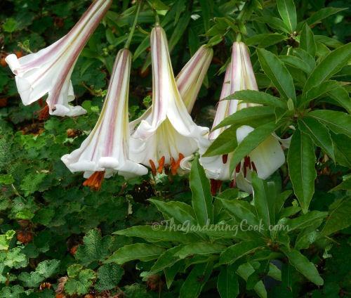 Brugmansia species - Angel's Trumpet