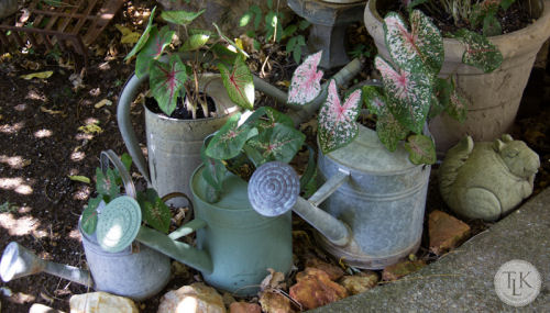 Coleus planted in watering cans